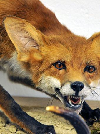 Opgezette vos met geopende bek