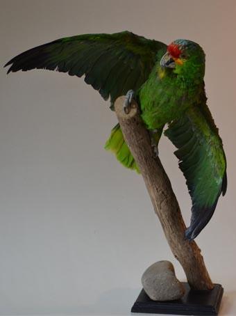 Opgezette amazone papegaai