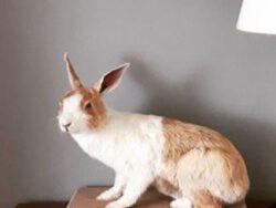 opgezet-huisdier-konijn