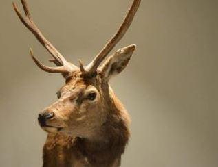 uitsnede-hertenkop-2ndlife-taxidermy