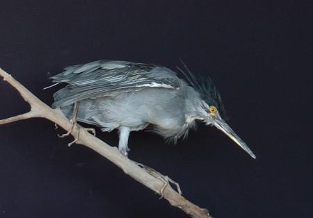 opgezette-mangrove-reiger-ronjonker-preparateur-noord-nederland